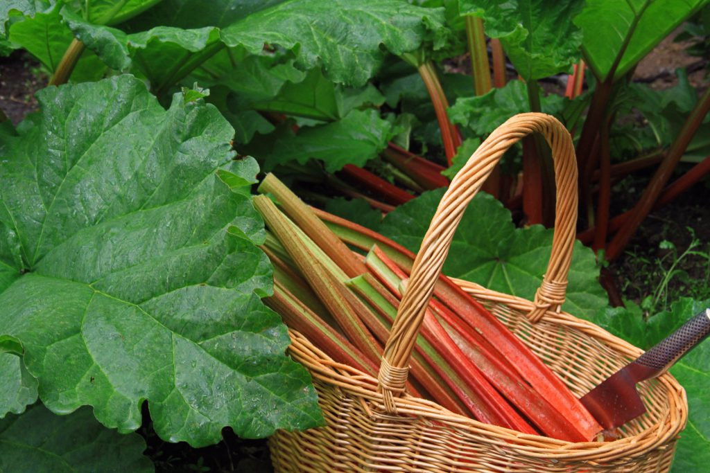 Home grown rhubarb