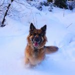 German shepherd dog playing in the snow